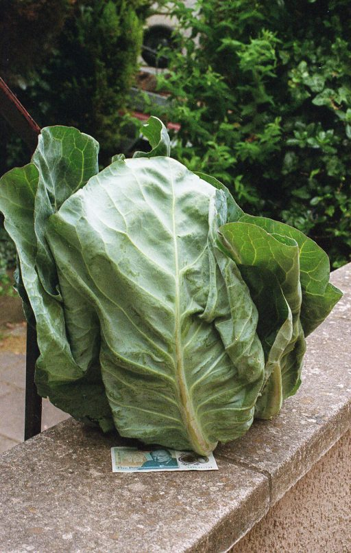 cabbage with five pound note underneath it
