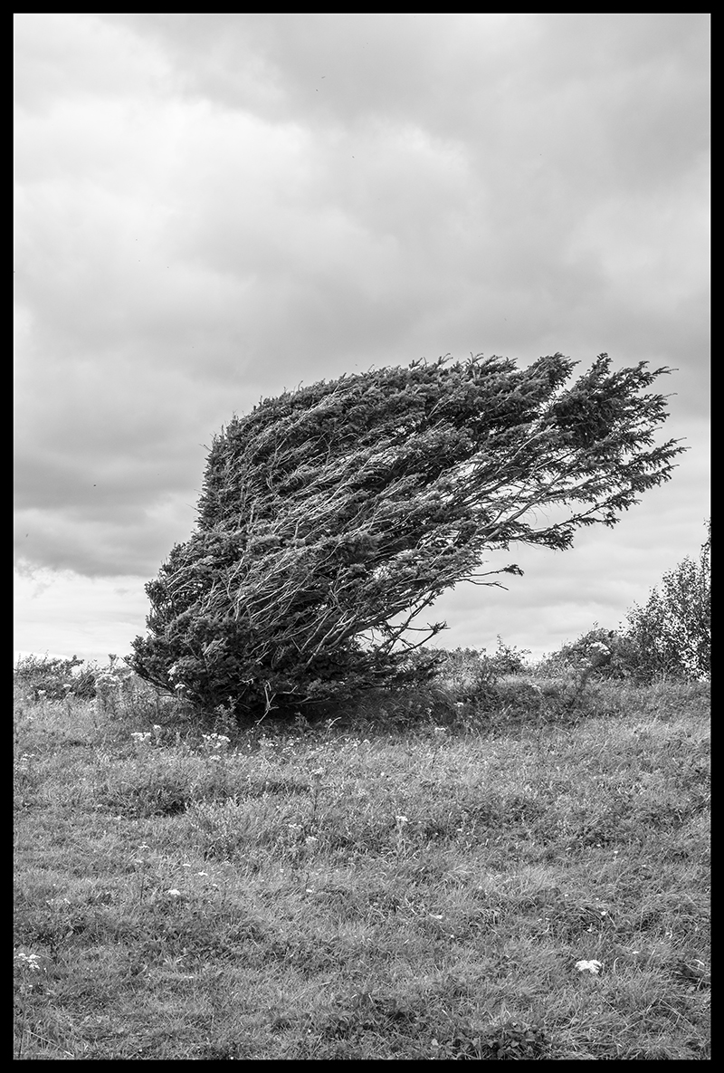 tall bush being blown to one side by wind